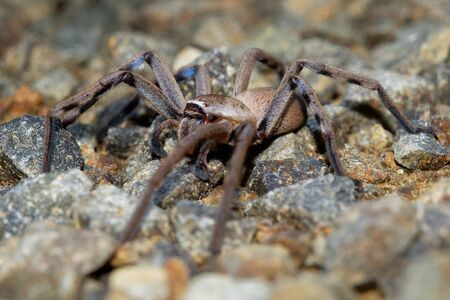 Sparassidae - Neosparassus patellatus - Badge Huntsman Spider. Big spider from Australia and Tasmania.