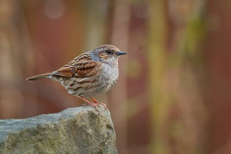 Dunnock - Prunella modularis is small passerine brown and grey or blue bird, found in Europe and Asian Russia, introduced into New Zealand, also called hedge accentor, hedge sparrow or hedge warbler Stock fotó