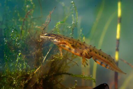 Smooth Newt - Lissotriton vulgaris or Triturus vulgaris captured under water in the small lagoon, small amphibian animal in the water. Standard-Bild