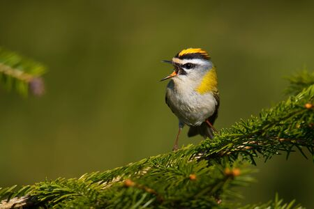 Firecrest - Regulus ignicapilla small forest bird with the yellow crest singing in the dark forest, very small passerine bird in the kinglet family.
