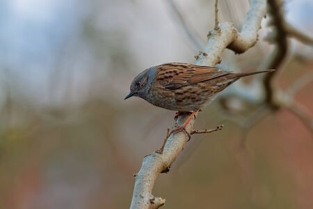 Dunnock - Prunella modularis is small passerine brown and grey or blue bird, found in Europe and Asian Russia, introduced into New Zealand, also called hedge accentor, hedge sparrow or hedge warbler