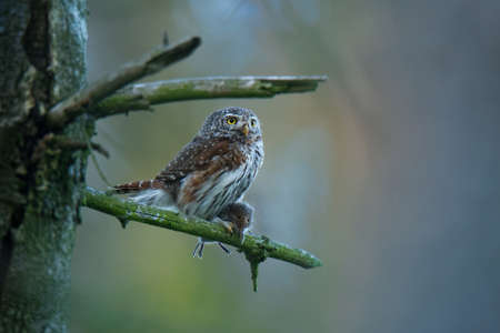 Eurasian Pygmy-Owl - Glaucidium passerinum sitting on the branch with the prey in the forest in summer. Small european owl with the green background. Banque d'images