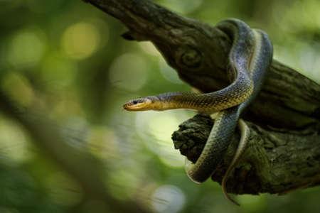 Aesculapian Snake - Zamenis longissimus, previously Elaphe longissima, nonvenomous olive green and yellow snake native to Europe, Colubrinae subfamily of the family Colubridae. 写真素材