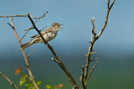 Barred Warbler - Sylvia nisoria singing birds, typical warbler, breeds in central and eastern Europe and western and central Asia, passerine bird strongly migratory, winters in tropical eastern Africa. Standard-Bild