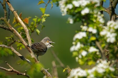 Barred Warbler - Sylvia nisoria singing birds, typical warbler, breeds in central and eastern Europe and western and central Asia, passerine bird strongly migratory, winters in tropical eastern Africa Standard-Bild