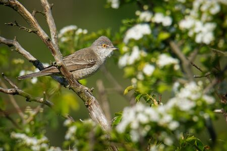Barred Warbler - Sylvia nisoria singing birs, typical warbler, breeds in central and eastern Europe and western and central Asia, passerine bird strongly migratory, winters in tropical eastern Africa.