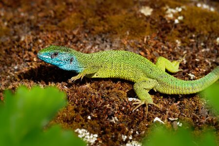 European Green Lizard - Lacerta viridis - large green and blue lizard distributed across European midlatitudes, male with the tick (harvest-mite) on the body. Often seen sunning on rocks or lawns. Standard-Bild