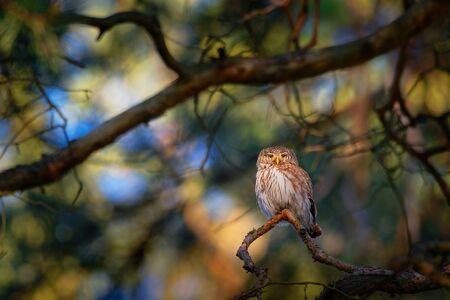 Eurasian Pygmy-Owl - Glaucidium passerinum sitting on the branch in the colourful forest in summer. Small european owl with the green and forest background. Standard-Bild