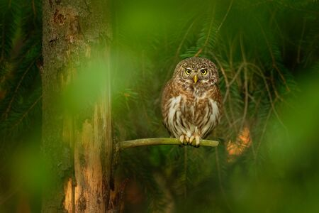 Eurasian Pygmy-Owl - Glaucidium passerinum sitting on the branch in the forest in summer. Small european owl with the green and forest background.