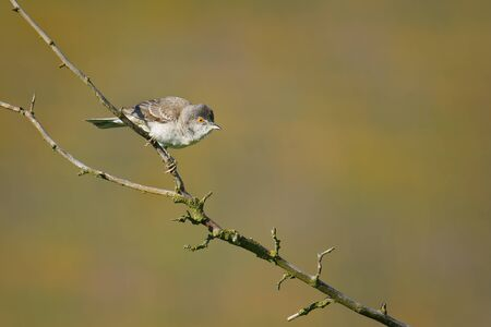 Barred Warbler - Sylvia nisoria singing bird, typical warbler, breeds in central and eastern Europe and western and Asia, passerine bird strongly migratory, winters in tropical eastern Africa.