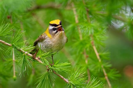 Firecrest - Regulus ignicapilla small forest bird with the yellow crest singing in the dark forest, sitting on the larch branch, very small passerine bird in the kinglet family. Standard-Bild