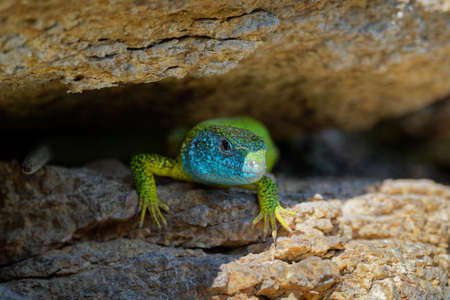 European Green Lizard - Lacerta viridis - large green and blue lizard distributed across European midlatitudes, male with the tick (harvest-mite) on the body. Often seen sunning on rocks or lawns.