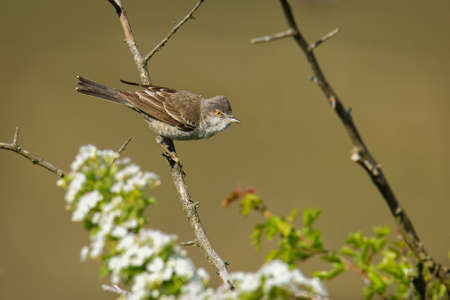 Barred Warbler - Sylvia nisoria singing bird, typical warbler, breeds in central and eastern Europe and western and central Asia, passerine bird strongly migratory, winters in tropical eastern Africa.