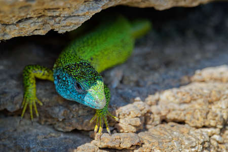 European Green Lizard - Lacerta viridis - large green and blue lizard distributed across European midlatitudes, male with the tick (harvest-mite) on the body. Often seen sunning on rocks or lawns. 写真素材