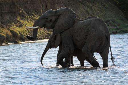 African Bush Elephant - Loxodonta africana pair two elephants bathing in the river Zambezi, Mana Pools in Zimbabwe near Zambia mountains. 写真素材