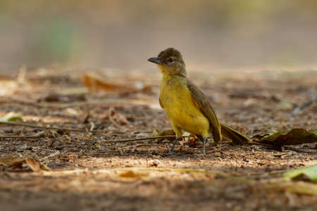 Chlorocichla flaviventris - Yellow-bellied Greenbul songbird in bulbul family Pycnonotidae, found in eastern, southern and west-central Africa, dry forests, moist lowland forests and dry savanna.