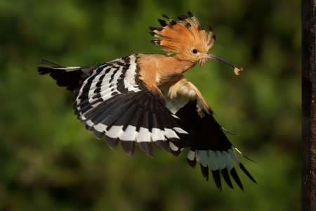 Eurasian Hoopoe (Upupa epops) feeding it's chicks captured in flight. Wide wings, typical crest and pray in the beak. Hunting insect, lizard, gecko, spiders, grub, maggot and worms.