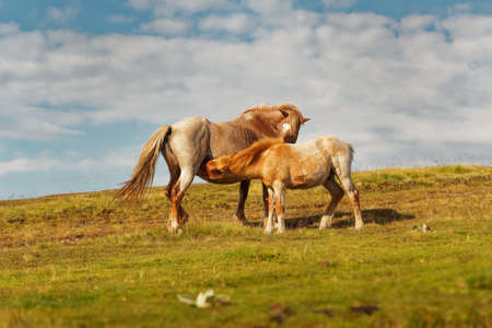 Horses and foals in the mountains, Central Balkan National Park in Bulgaria, Stara Planina. Beautiful horses in the nature on top of the hill. 写真素材