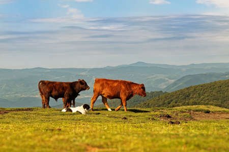 Herd of cows in the mountains guided by white shepherd dog, Central Balkan National Park in Bulgaria, Stara Planina. Beautiful scenery in the nature on top of the hill. 写真素材