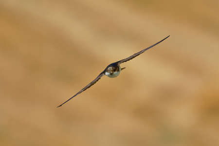 Common House-Martin - Delichon urbicum black and white flying bird eating and hunting insects, also called northern house martin, swallow family, breeds in Europe, north Africa and across the Palearctic. 写真素材