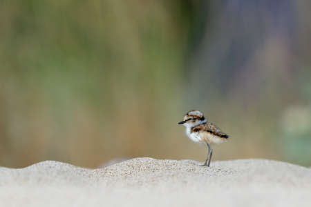 Little Ringed Plover - Charadrius dubius young chick of wader and shorebird species feeding on the sand beach of the Black Sea in Bulgaria. Cute small bird. 写真素材