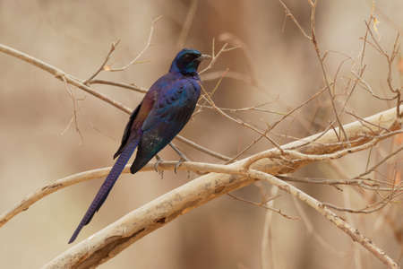 Meves Starling - Lamprotornis mevesii species of metallic colored bird in family Sturnidae, found in Angola, Botswana, Malawi, Mozambique, Namibia, South Africa, Zambia, Zimbabwe.