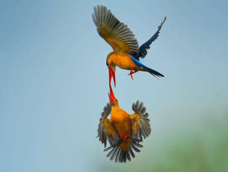 Stork-billed Kingfisher (Pelargopsis capensis) - tree kingfisher distributed in the tropical Indian subcontinent and Southeast Asia. Fighting colorful birds in flight - blue and orange and red.