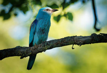 European Roller - Coracias garrulus colorful blue bird sitting on the branch and looking for the food for its chicks in the hole nest.