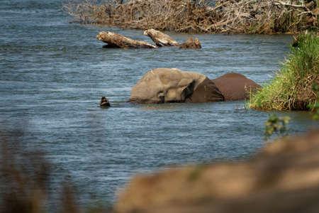 African Bush Elephant - Loxodonta africana elephant bathing and swimming in the river Zambezi, Mana Pools in Zimbabwe near Zambia mountains.