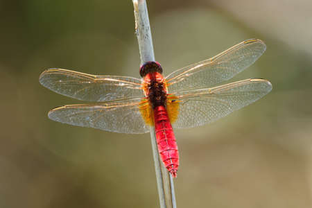 Scarlet Dragonfly Crocothemis erythraea - red colored species of dragonfly in the family Libellulidae. Its common names include broad scarlet, common scarlet-darter, scarlet darter and scarlet dragonfly. 写真素材