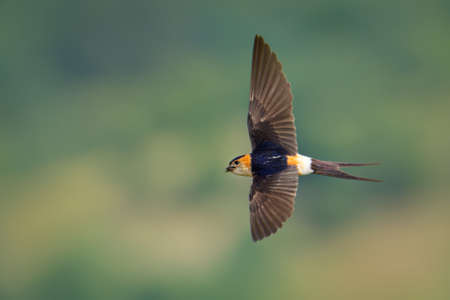 Red-rumped Swallow - Hirundo daurica small passerine bird in swallow family, breeds in open hilly country of southern Europe and Asia from Portugal and Spain to Japan, India, Sri Lanka and tropical Africa. 写真素材