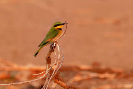 Little Bee-eater - Merops pusillus a near passerine green and yellow bird species in the bee-eater family, Meropidae. They are residents in much of Sub-Saharan Africa. 写真素材