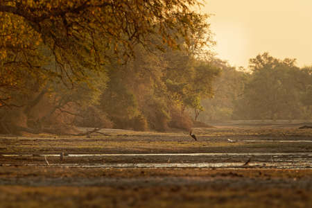 Landscape scenery in Mana Pools National Park in Zimbabwe, Africa with Saddle-billed Stork (Ephippiorhynchus senegalensis) and lot of another species during sunset or sunrise. 写真素材