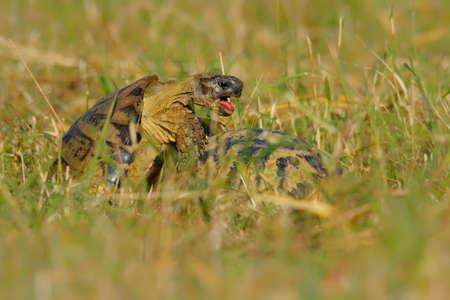 Hermanns tortoise - Testudo hermanni male and female copulating on the meadow. Species in genus Testudo, known subspecies are: western Hermanns tortoise (T. h. Hermanni), eastern Hermanns tortoise (T. h. Boettgeri).