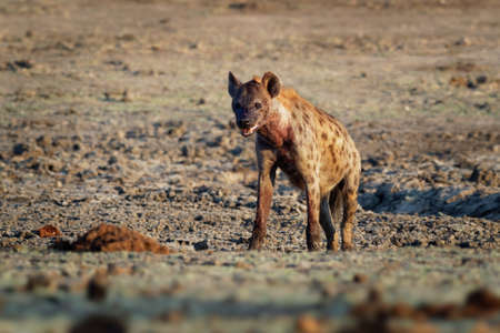 Spotted Hyena - Crocuta crocuta several hyenas and vultures feeding on the dead elephant in the mud, Mana Pools in Zimbabwe. Very dry ground early in the morning. Stock Photo