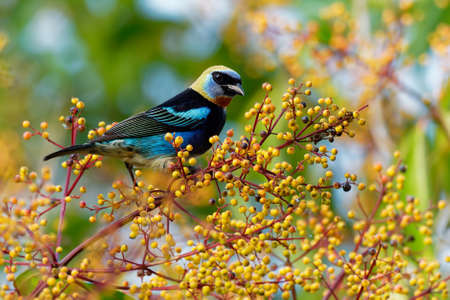Golden-hooded Tanager - Tangara larvata medium-sized passerine bird. This tanager is a resident breeder from southern Mexico south to western Ecuador, black and blue and orange colorful plumage.
