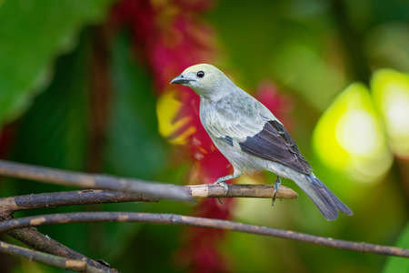 Palm Tanager - Tangara palmarum is a medium-sized passerine bird, resident breeder from Nicaragua south to Bolivia, Paraguay and southern Brazil. It also breeds on Trinidad and Tobago.