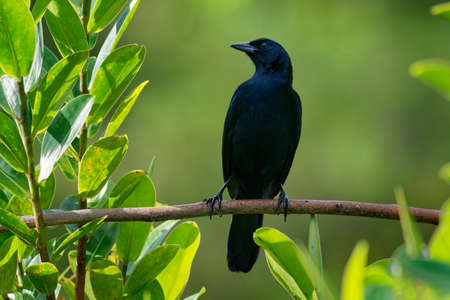 Melodious blackbird - Dives dives medium-sized blackbird with a rounded tail, plumage is entirely black with a bluish gloss, and the bill, legs and feet are also black. The iris is brown.