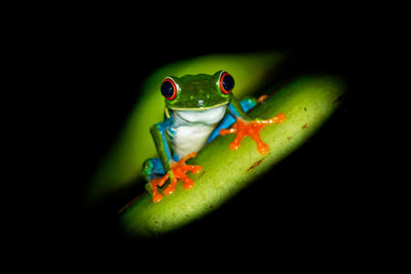 Red-eyed Tree Frog - Agalychnis callidryas arboreal hylid native to Neotropical rainforests from Mexico, Central America to Colombia, frog on the leaf in the night, dark black background.