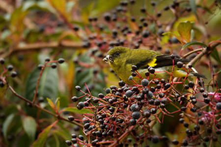 Yellow-bellied siskin (Spinus xanthogastrus) is a small passerine bird in the finch family Fringillidae. It breeds from Costa Rica south to southern Ecuador, Bolivia and the highlands of Venezuela. Stockfoto