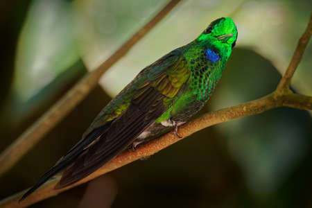 Green-crowned Brilliant - Heliodoxa jacula large, robust hummingbird that is a resident breeder in the highlands from Costa Rica to western Ecuador. Stockfoto