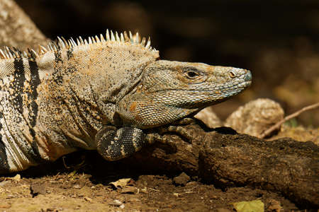 Ctenosaura similis, known as black spiny-tailed iguana, black iguana or black ctenosaur, lizard native to Mexico and Central America, introduced to the United States in Florida. The fastest lizard of the world.