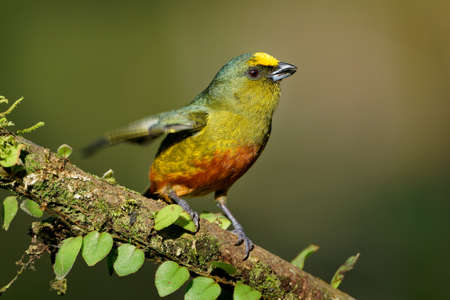 Olive-backed Euphonia - Euphonia gouldi small passerine bird in the finch family, resident breeder in the Caribbean lowlands and foothills from southern Mexico to western Panama.