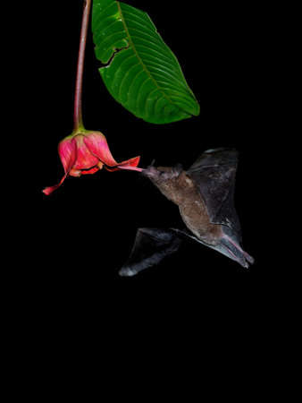 Pallas long-tongued bat (Glossophaga soricina) South and Central American bat with a fast metabolism that feeds on nectar, flying bat in the night, feeding on the blossom.