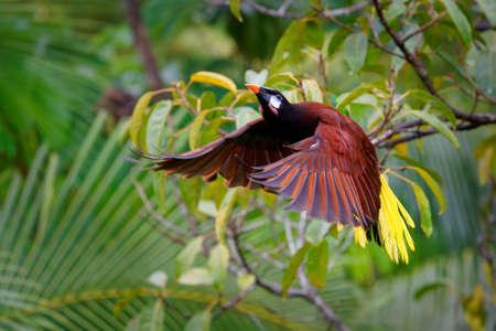 Flying tropical bird Montezuma Oropendola - Psarocolius montezuma New World tropical icterid bird, Caribbean coastal lowlands, Mexico, Panama, Nicaragua, Honduras, Costa Rica.