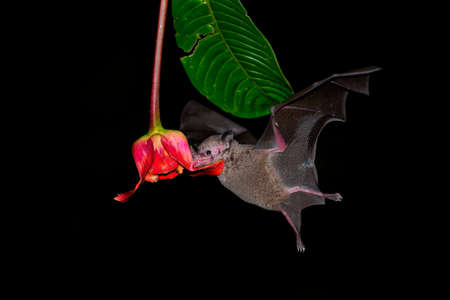Pallas long-tongued bat (Glossophaga soricina) South and Central American bat with a fast metabolism that feeds on nectar, flying bat in the night, feeding on the blossom. Foto de archivo