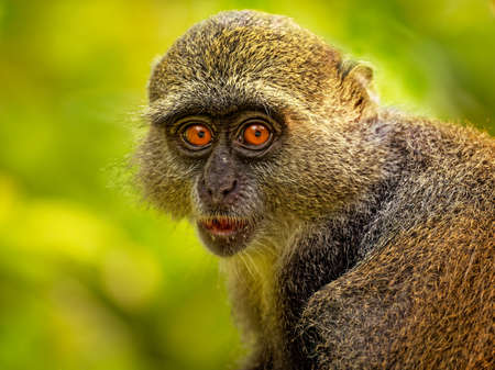 Sykes monkey - Cercopithecus albogularis also known white-throated or Samango or silver or black or blue or diademed monkey, found between Ethiopia and South Africa, eatimg fruit on green. Standard-Bild