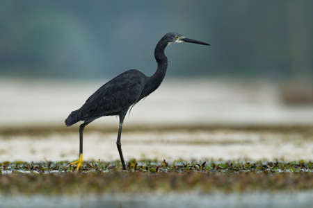 Western Reef Heron - Egretta gularis also Western Reef Egret, medium-sized heron found in southern Europe, Africa and Asia, two morphs light and dark, white or gray black bird with yellow feet in the sea. Standard-Bild