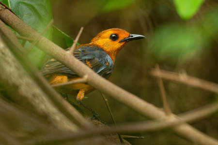 Red-capped Robin-chat or Natal robin - Cossypha natalensis bird in the family Muscicapidae, found in Africa, african orange songbird on the green background in the bush. Standard-Bild