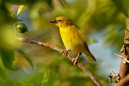 Eastern Golden Weaver - Ploceus subaureus yellow song bird in the family Ploceidae, found in eastern and southern Africa, green background, also yellow or olive-headed golden or African golden weaver. Standard-Bild